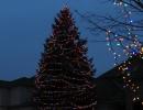 well lit multi colour spruce tree (1)